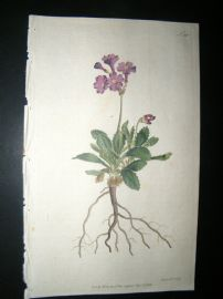 Curtis 1792 Hand Col Botanical Print. Silver Edged Primula 191